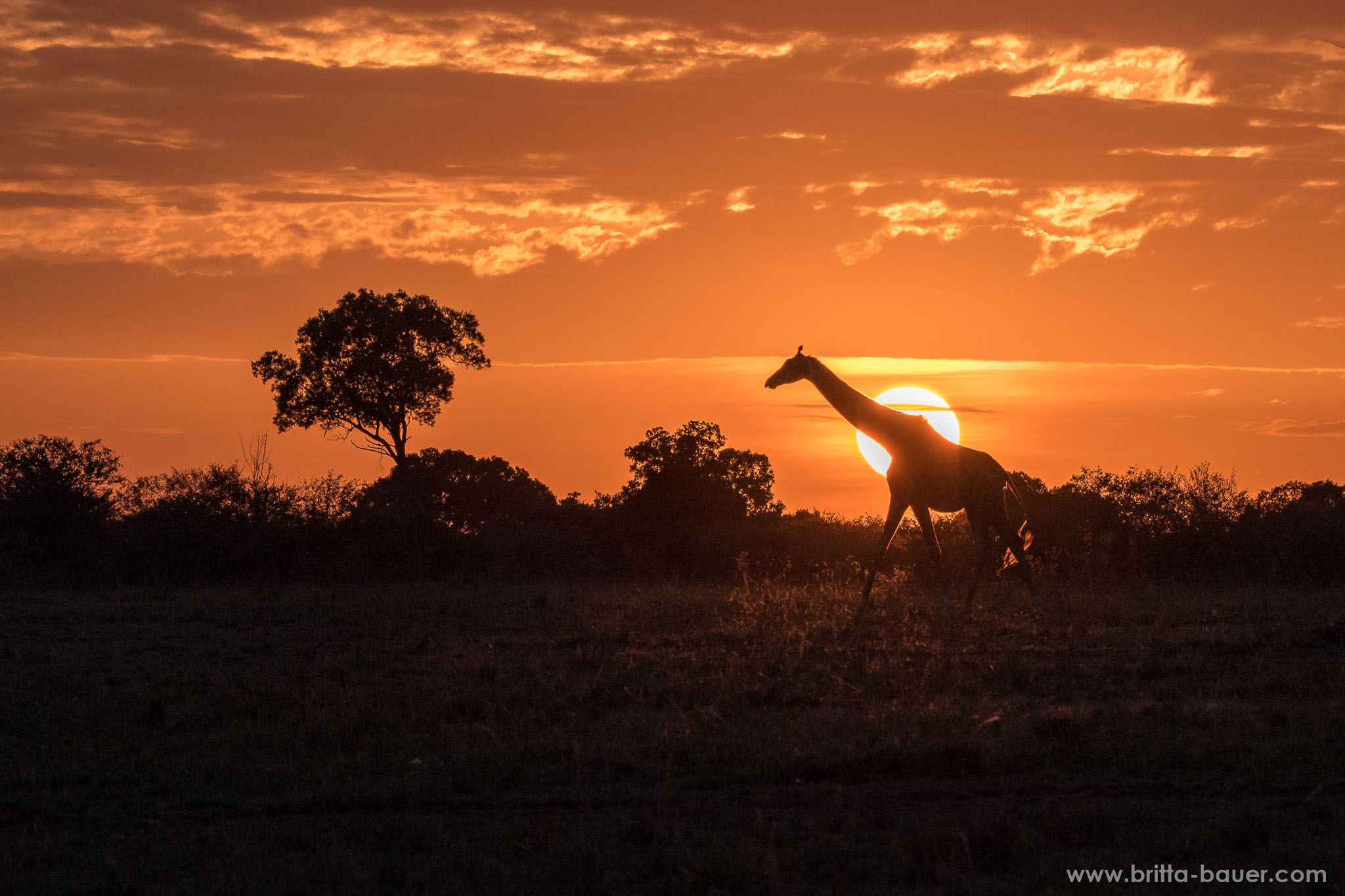 Giraffe (Giraffa) beim Sonnenaufgang nach einer regnerischen Oktobernacht. Giraffe at sunrise after a rainy night in October.