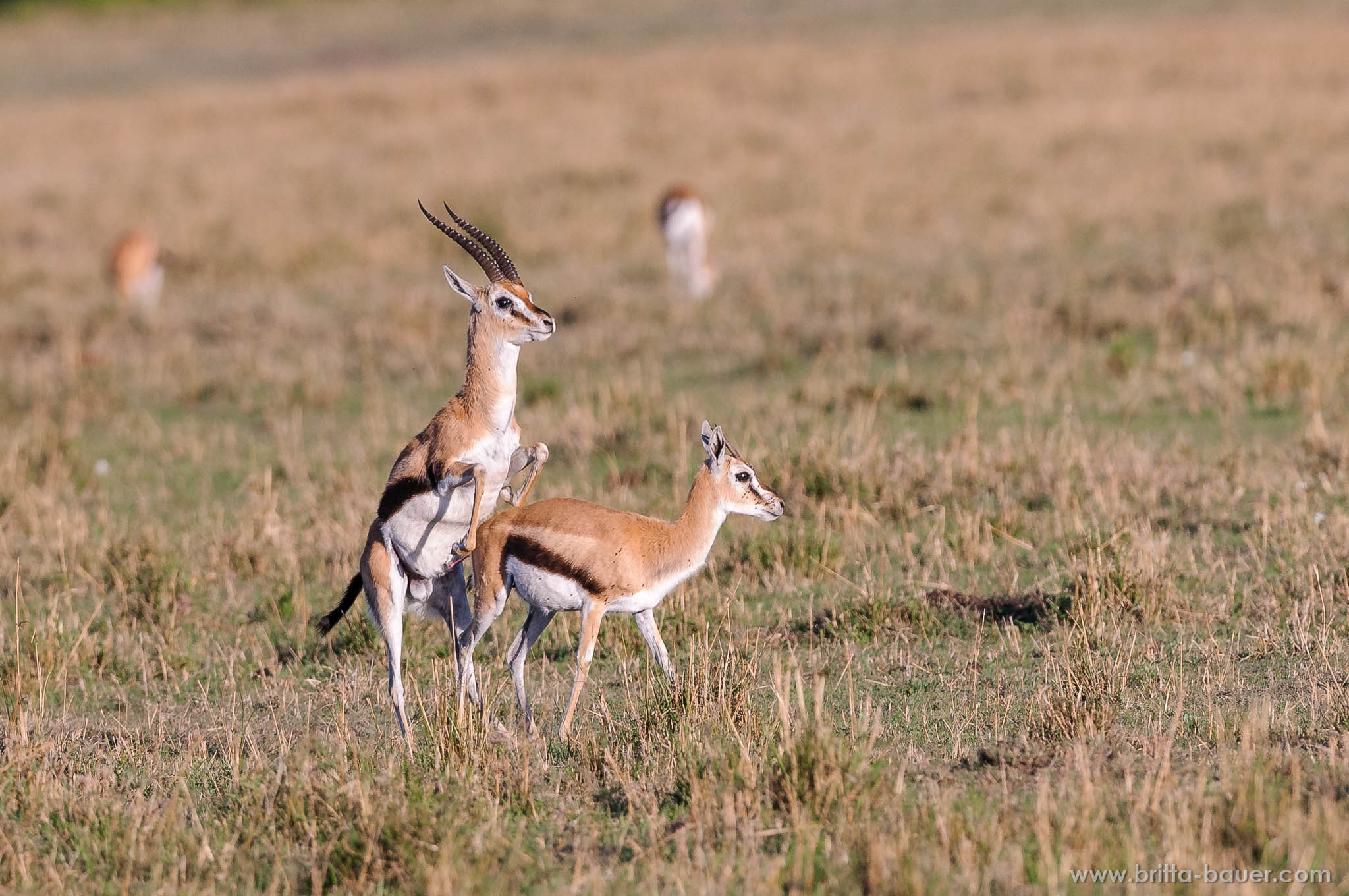 Zwei westliche Thomson-Gazellen (Eudorcas nasalis) bei der Kopula. Two Thomson-Gazelles during copulation.